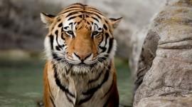 Tiger Download for desktop