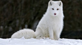 Arctic Fox Wide wallpaper