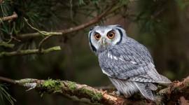 White Owl For desktop