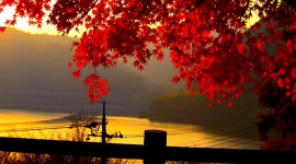 Red Leaves Tree Images