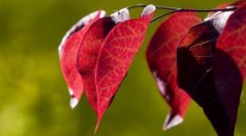 Red Leaves Tree For desktop