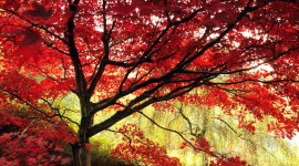 Red Leaves Tree for android
