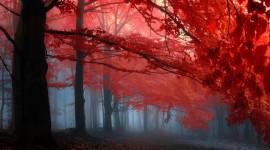 Red Leaves Tree 1080p