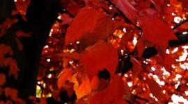 Red Leaves Tree HD