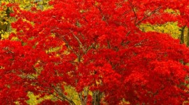 Red Leaves Tree pic