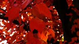 Red Leaves Tree Photos