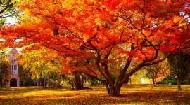 Red Leaves Tree Wide wallpaper