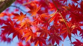 Red Leaves Tree 4K