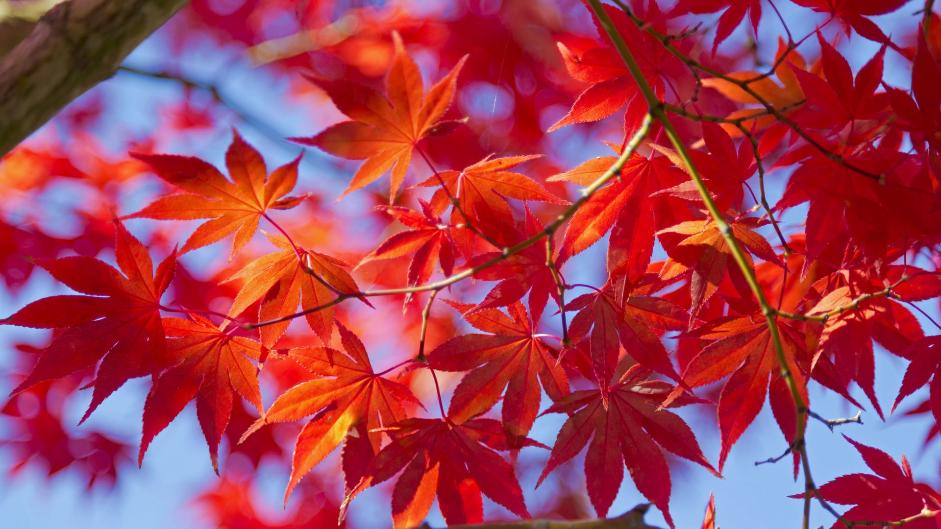 Red Leaves Tree Wallpapers High Quality | Download Free
