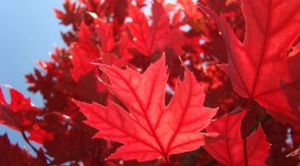 Red Leaves Tree background