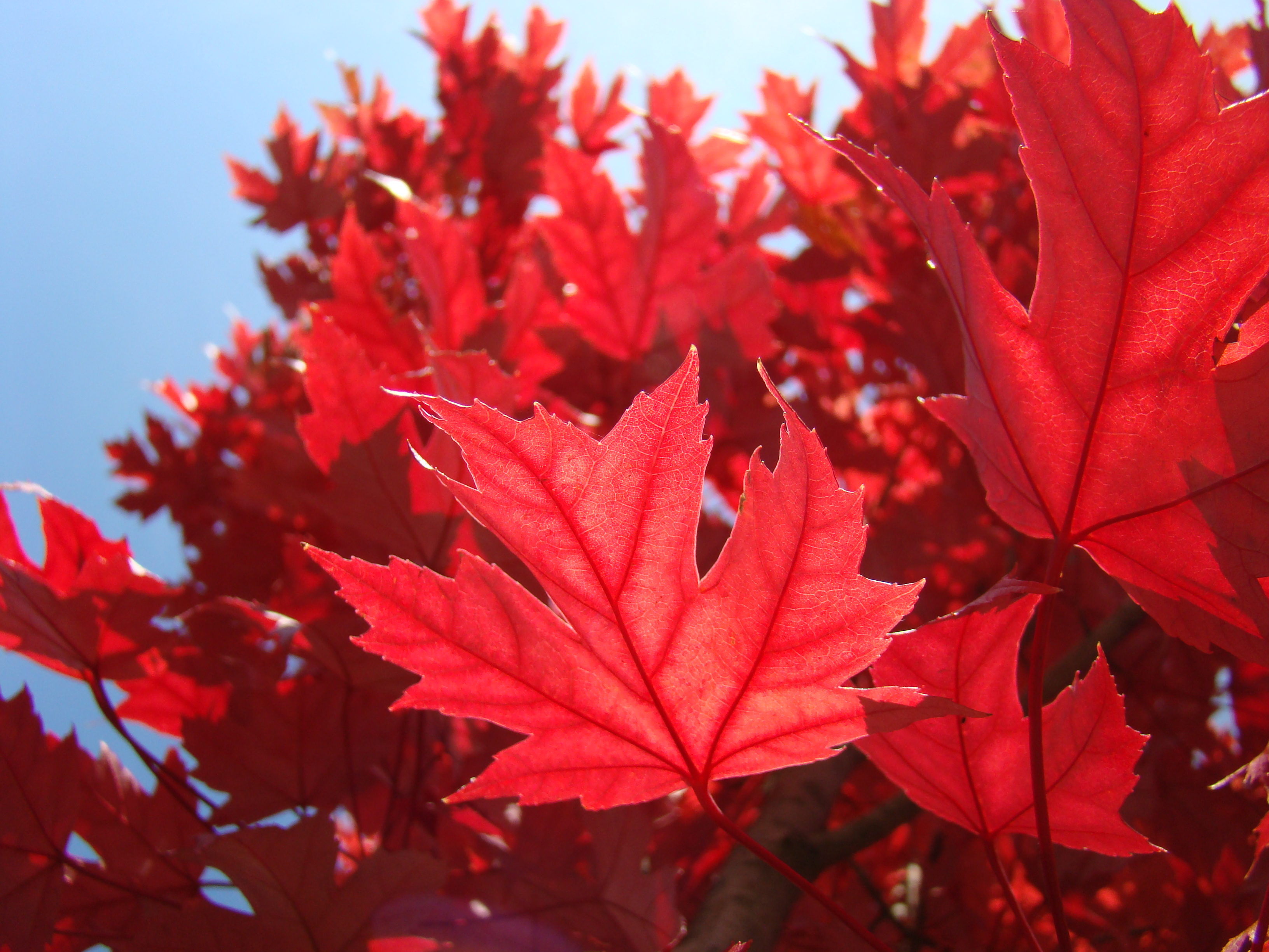 Labels Red Autumn Leaves Photography Hd Wallpapers For: Red Leaves Tree Wallpapers High Quality