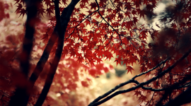 Red Leaves Tree Full HD