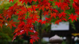 Red Leaves Tree Free download