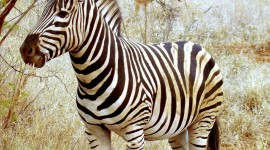 Zebra gallery #572