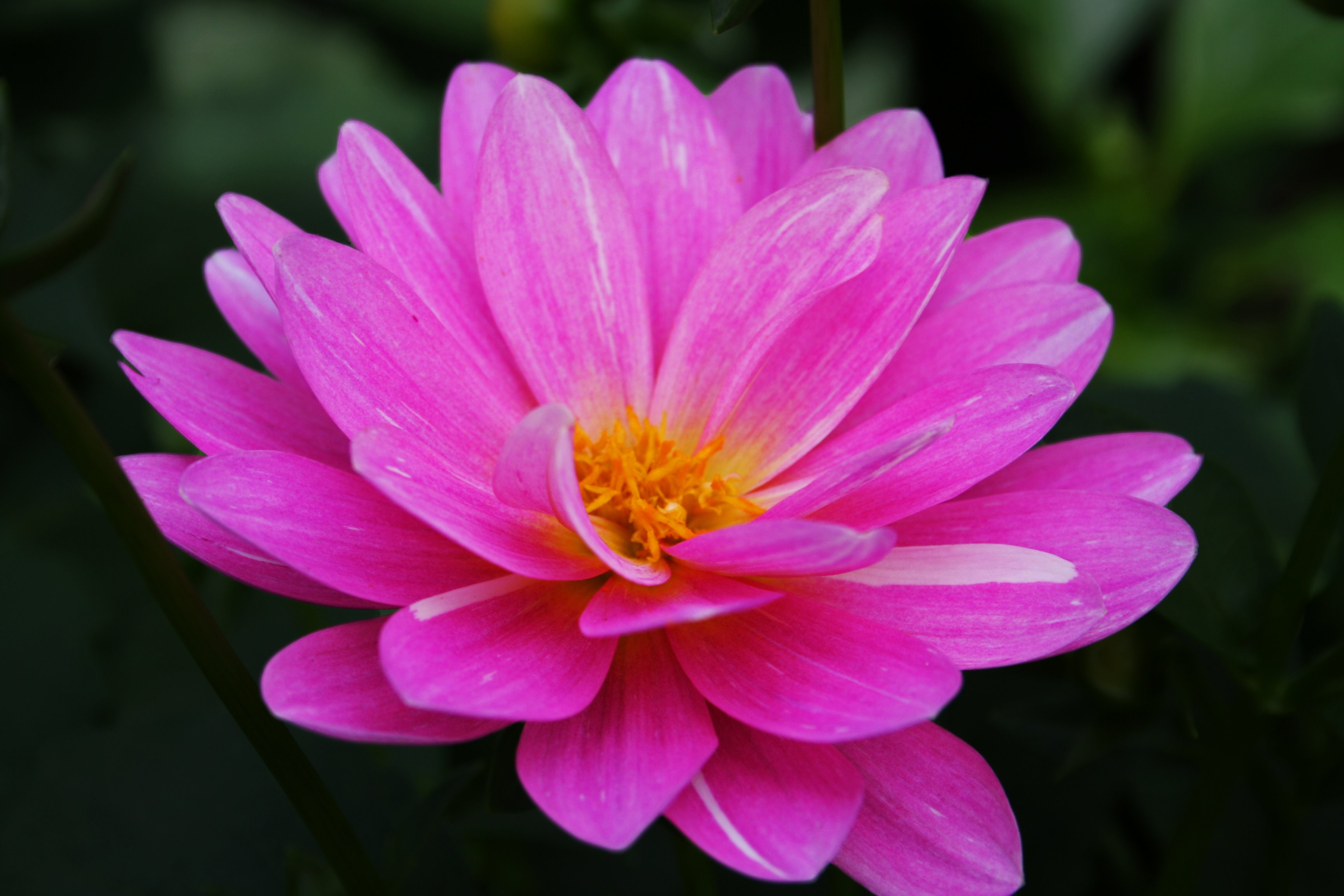 Pink Flower Wallpapers High Quality Download Free