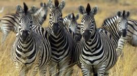 Zebra Pictures #340