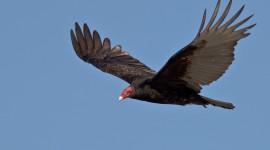Vulture Image #237