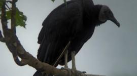 Vulture Photo #401