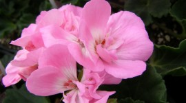 Geranium High Quality #266