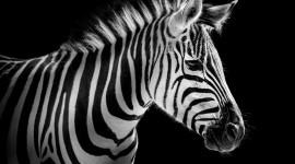 Zebra wallpaper 1920x1080 #921