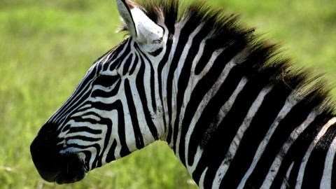 Zebra wallpapers high quality