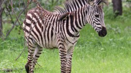 Zebra High Definition #910