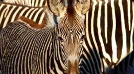 Zebra free #404