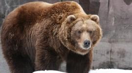 Bear 1080p #580