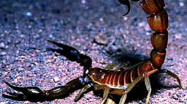 Scorpion widescreen wallpaper #447