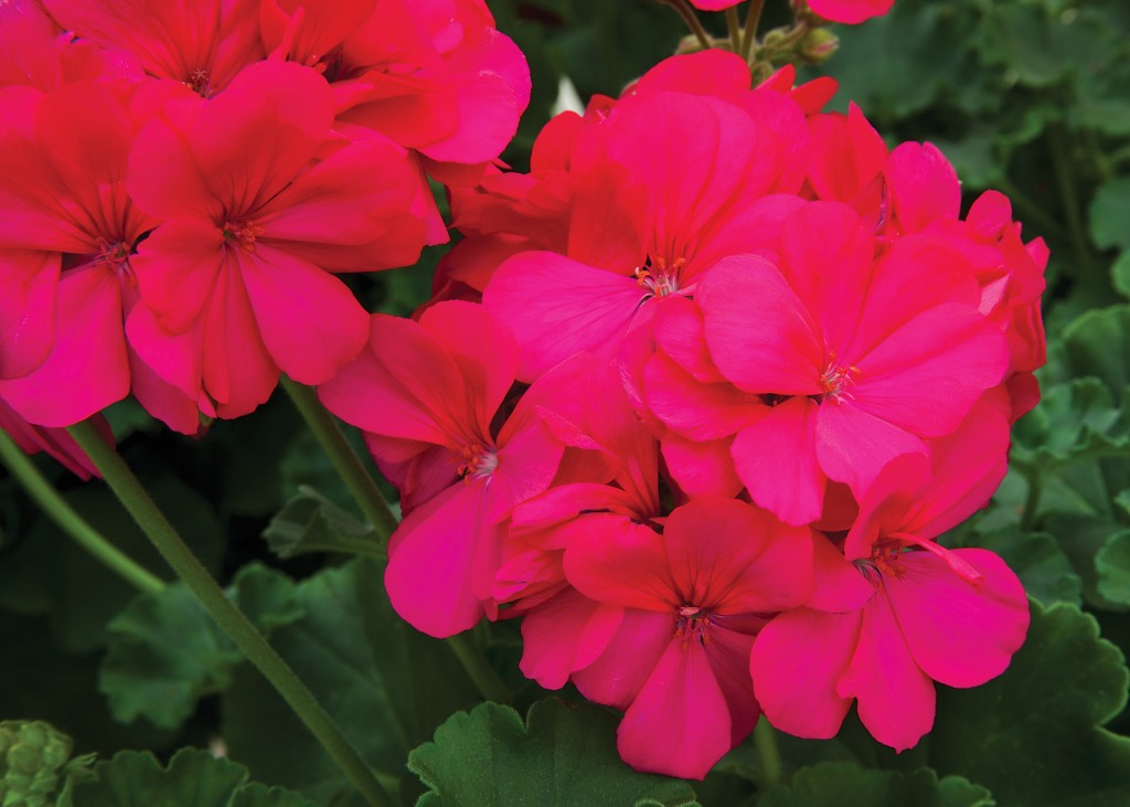 Geranium wallpapers HD