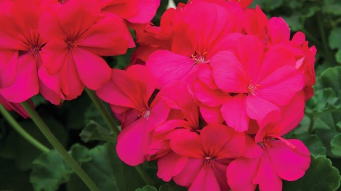 Geranium wallpapers high quality