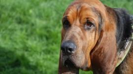 Bloodhound High Definition #509