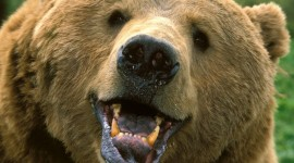 Bear Pictures #352