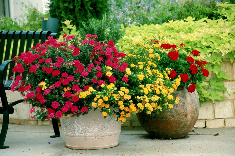 Комнатный цветок, цветущий круглый 56