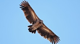 Vulture Full HD #479