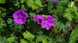Geranium for desktop #718