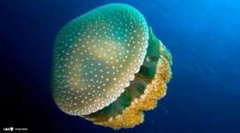 Jellyfish hd pics #228