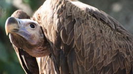 Vulture gallery #787