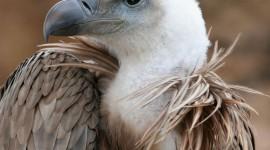 Vulture hd pics #951