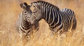Zebra 1080p #756