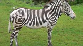 Zebra Pic #651