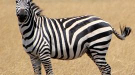 Zebra Images #204