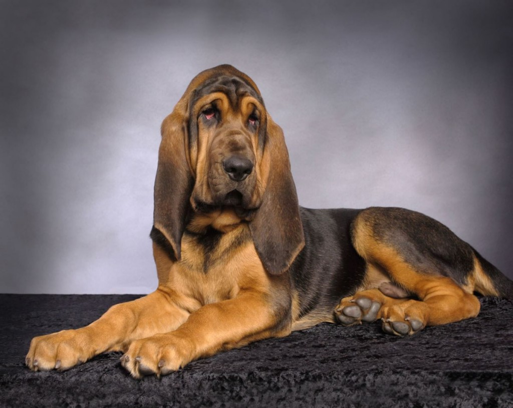Bloodhound wallpapers HD