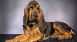 Bloodhound wallpaper download #439