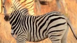 Zebra hd photos #960