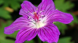 Geranium Full HD #322