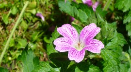 Geranium High Definition #666