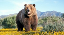 Bear Full HD #617