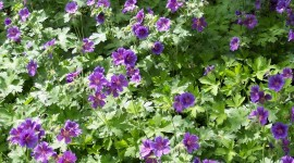 Geranium free download #289