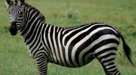 Zebra Pics #699